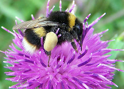 Photo of buff tailed bumblebee
