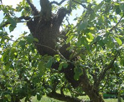 Photo of a swarm in an apple tree